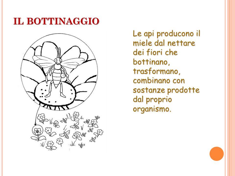 IL BOTTINAGGIO Le api producono il miele dal nettare dei fiori che bottinano, trasformano, combinano con sostanze prodotte dal proprio organismo.