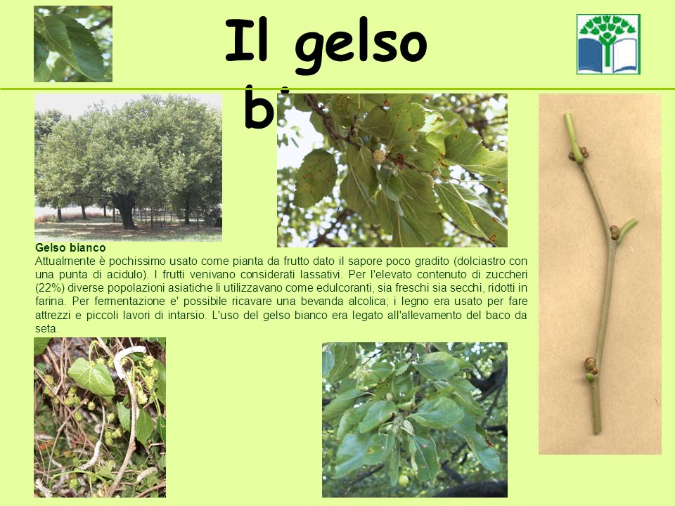 Il gelso bianco Gelso bianco