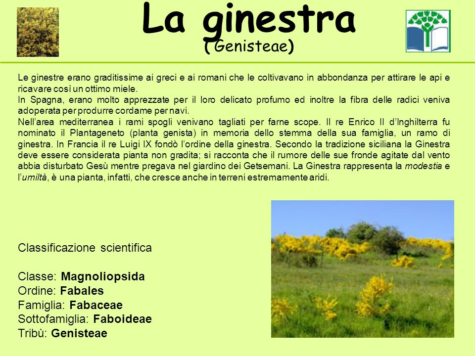 La ginestra ( Genisteae) Classificazione scientifica