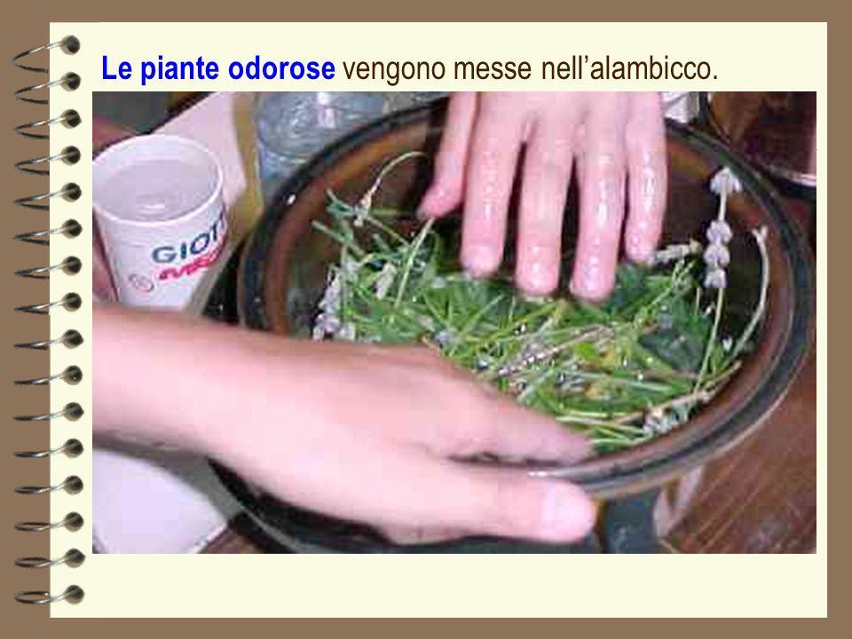 Le piante odorose vengono messe nell'alambicco.