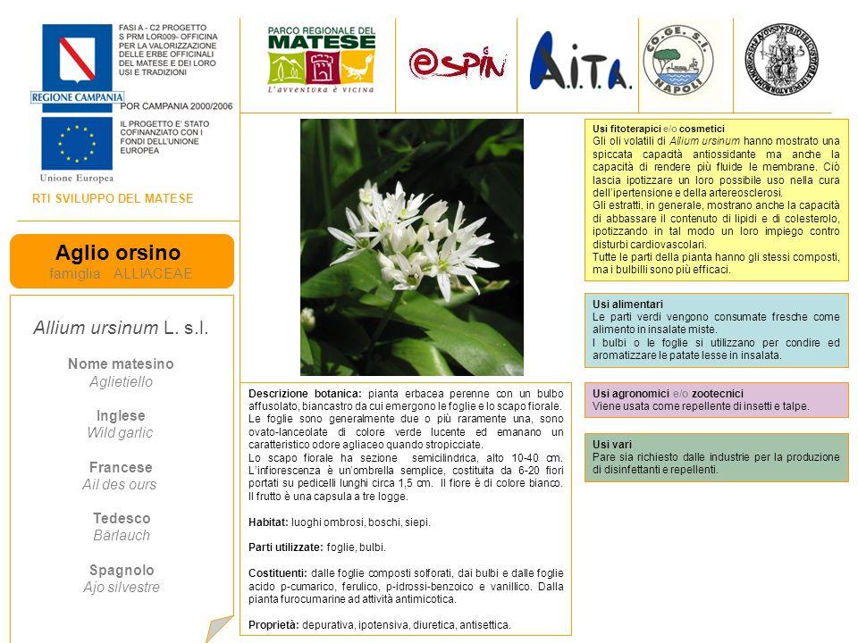 Aglio orsino Allium ursinum L. s.l. famiglia ALLIACEAE Nome matesino