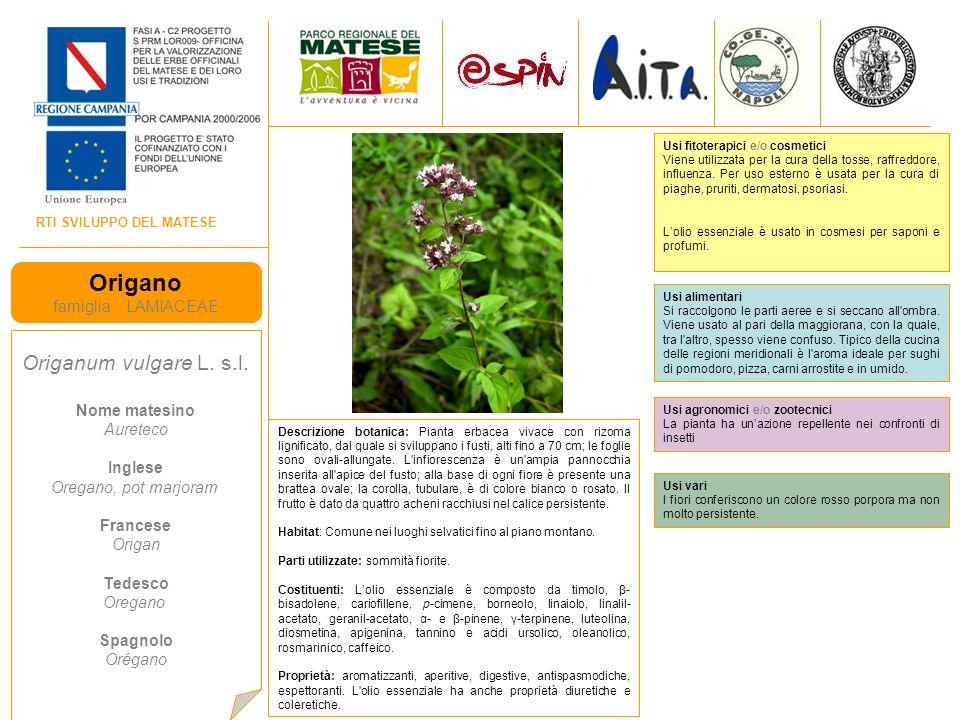 Origano Origanum vulgare L. s.l. famiglia LAMIACEAE Nome matesino