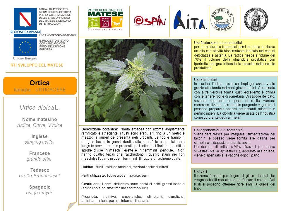 Ortica Urtica dioica L. famiglia URTICACEAE Nome matesino