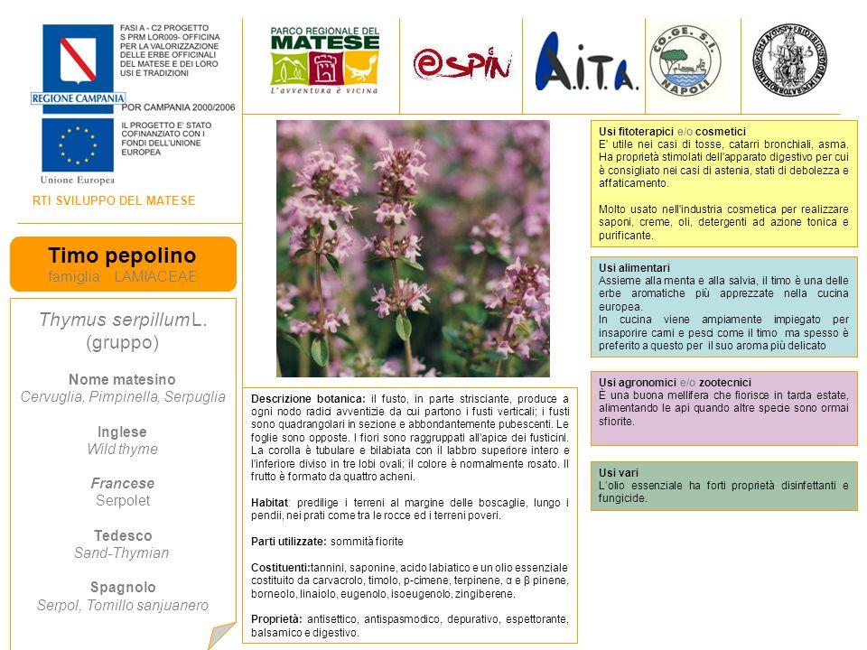 Timo pepolino Thymus serpillum L. (gruppo) famiglia LAMIACEAE