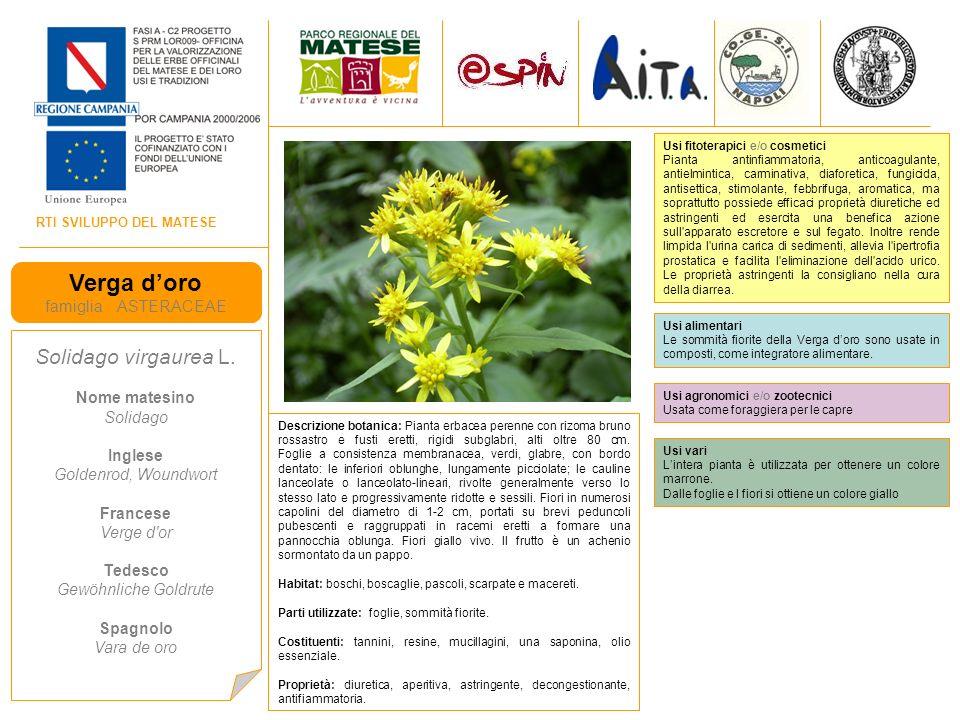 Verga d'oro Solidago virgaurea L. famiglia ASTERACEAE Nome matesino
