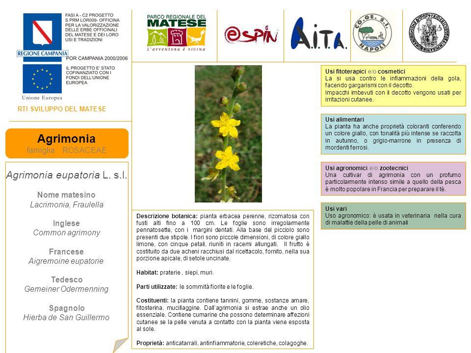 Agrimonia Agrimonia eupatoria L. s.l. famiglia ROSACEAE Nome matesino