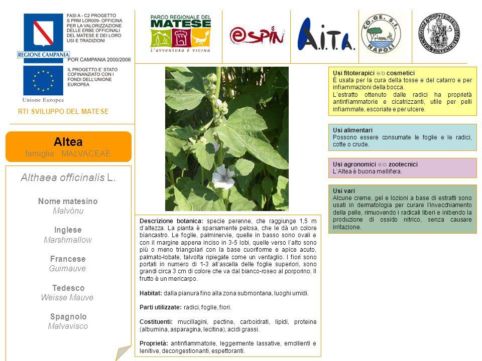 Altea Althaea officinalis L. famiglia MALVACEAE Nome matesino Malvònu