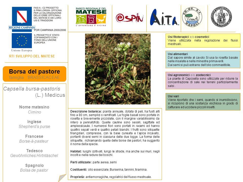 Borsa del pastore Capsella bursa-pastoris famiglia BRASSICACEAE