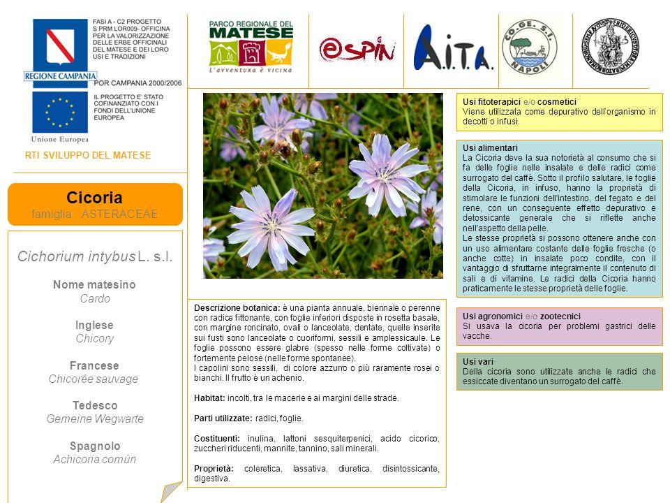 Cicoria Cichorium intybus L. s.l. famiglia ASTERACEAE Nome matesino