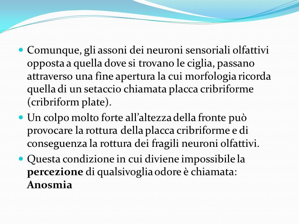 Comunque, gli assoni dei neuroni sensoriali olfattivi opposta a quella dove si trovano le ciglia, passano attraverso una fine apertura la cui morfologia ricorda quella di un setaccio chiamata placca cribriforme (cribriform plate).