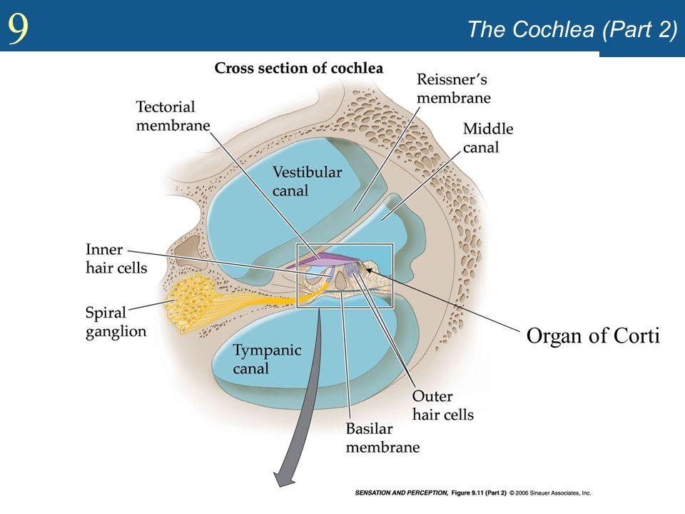 The Cochlea (Part 2) Organ of Corti