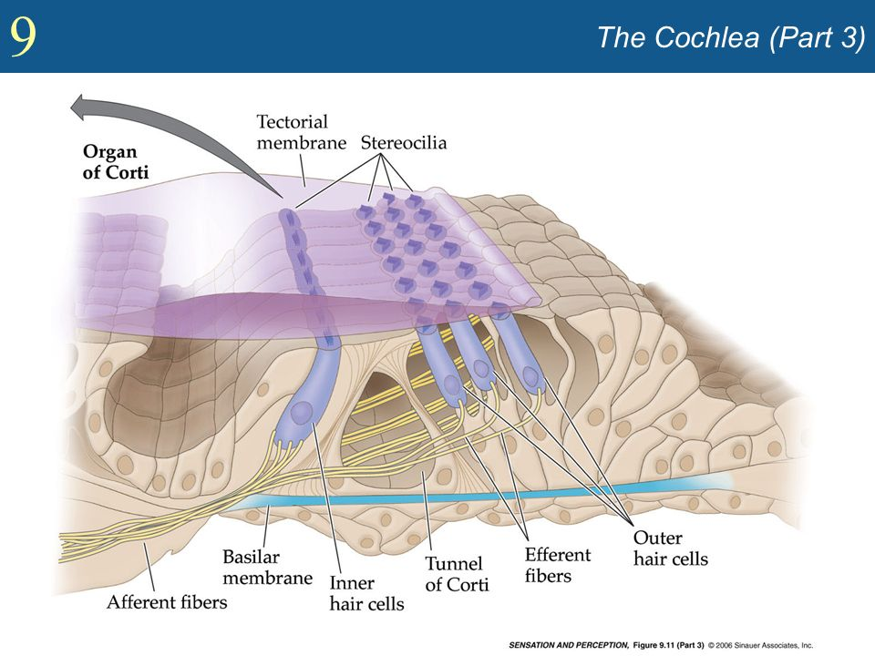 The Cochlea (Part 3)
