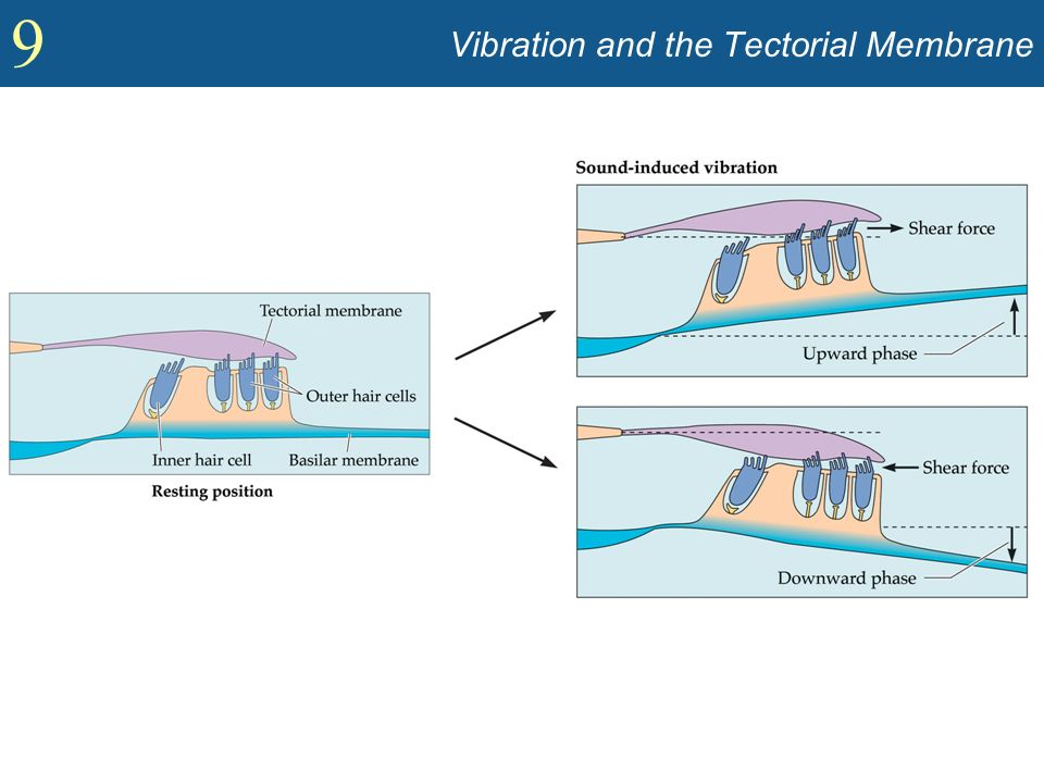 Vibration and the Tectorial Membrane