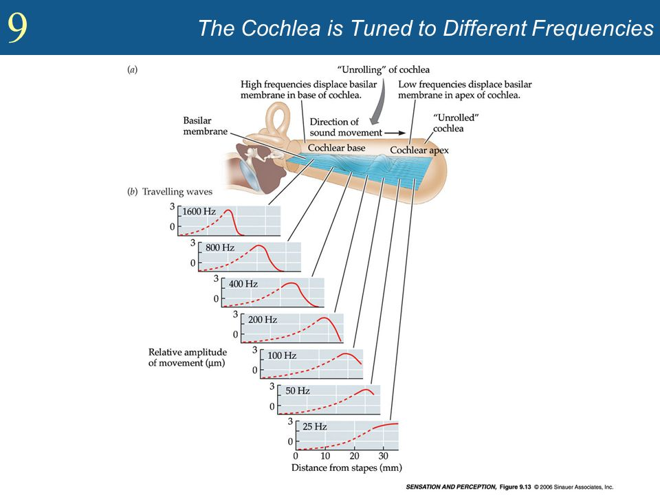The Cochlea is Tuned to Different Frequencies