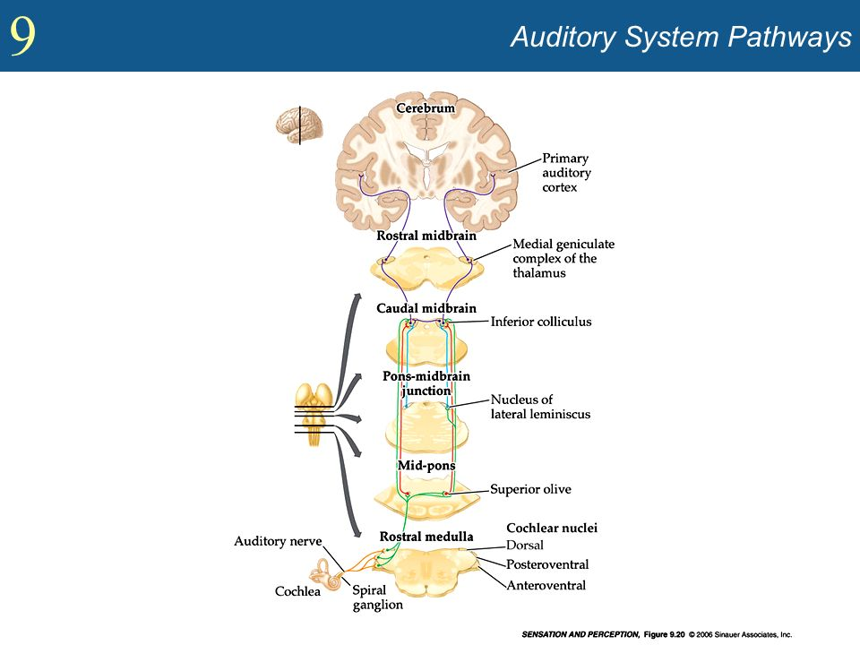 Auditory System Pathways
