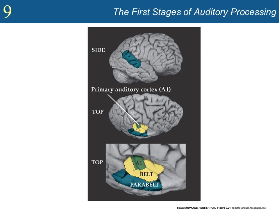 The First Stages of Auditory Processing