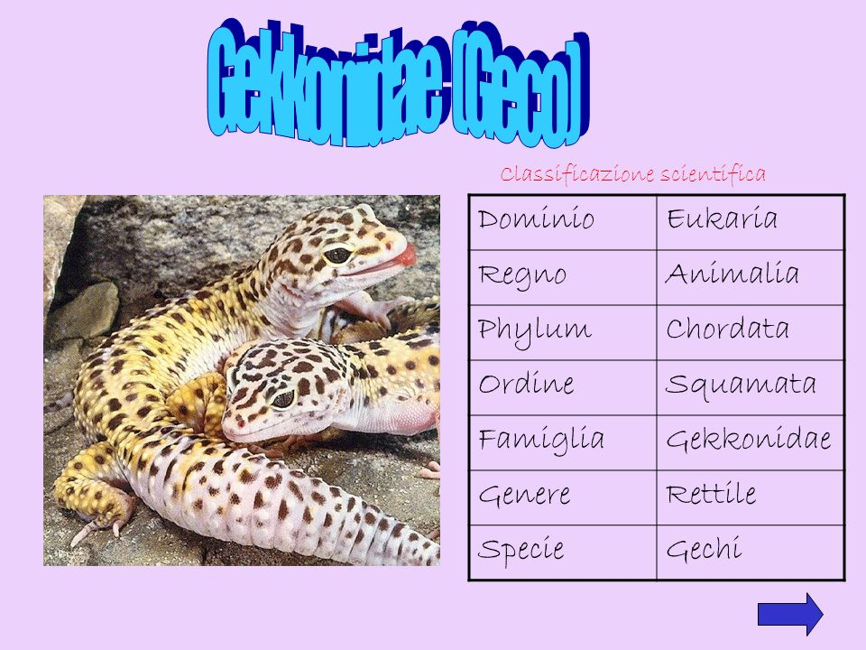 Gekkonidae (Geco) Dominio Eukaria Regno Animalia Phylum Chordata