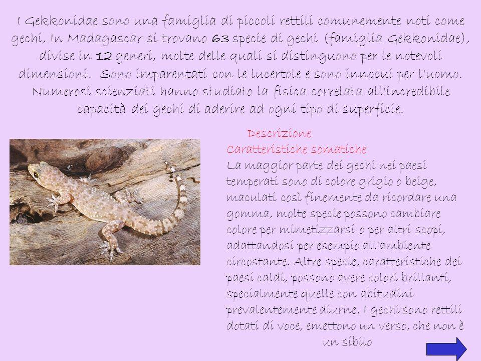 I Gekkonidae sono una famiglia di piccoli rettili comunemente noti come gechi, In Madagascar si trovano 63 specie di gechi (famiglia Gekkonidae), divise in 12 generi, molte delle quali si distinguono per le notevoli dimensioni. Sono imparentati con le lucertole e sono innocui per l uomo.