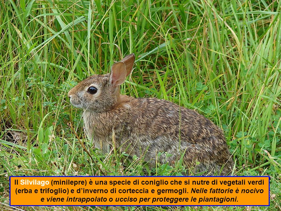 Il Silvilago (minilepre) è una specie di coniglio che si nutre di vegetali verdi (erba e trifoglio) e d'inverno di corteccia e germogli.
