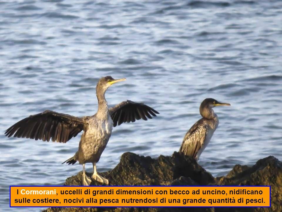 I Cormorani, uccelli di grandi dimensioni con becco ad uncino, nidificano sulle costiere, nocivi alla pesca nutrendosi di una grande quantità di pesci.
