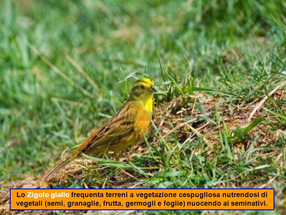 Lo Zigolo giallo frequenta terreni a vegetazione cespugliosa nutrendosi di vegetali (semi, granaglie, frutta, germogli e foglie) nuocendo ai seminativi.