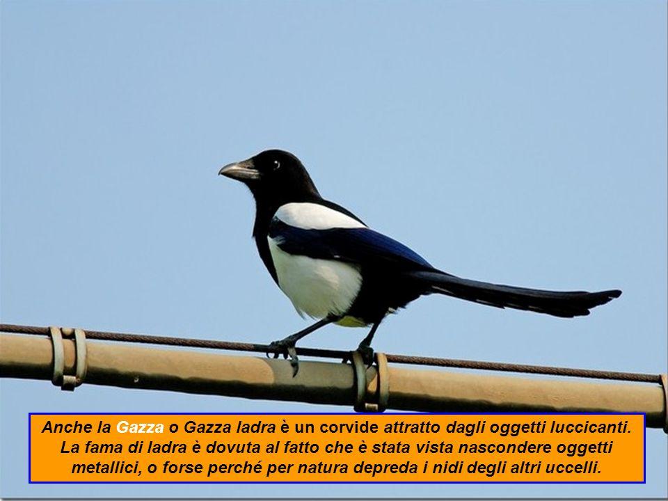 Anche la Gazza o Gazza ladra è un corvide attratto dagli oggetti luccicanti.
