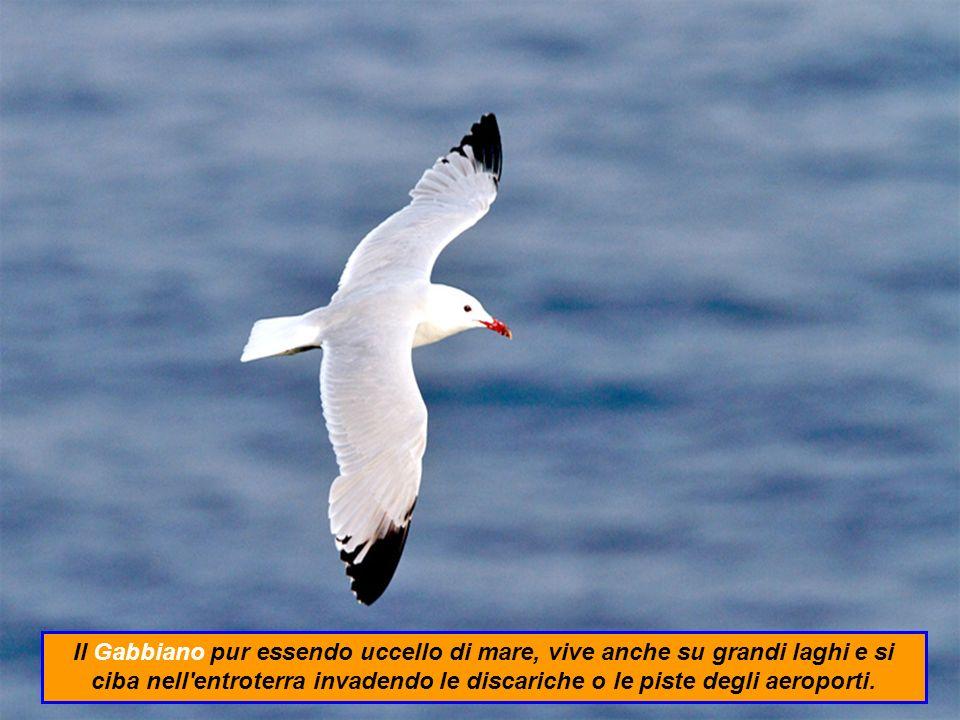 Il Gabbiano pur essendo uccello di mare, vive anche su grandi laghi e si ciba nell entroterra invadendo le discariche o le piste degli aeroporti.