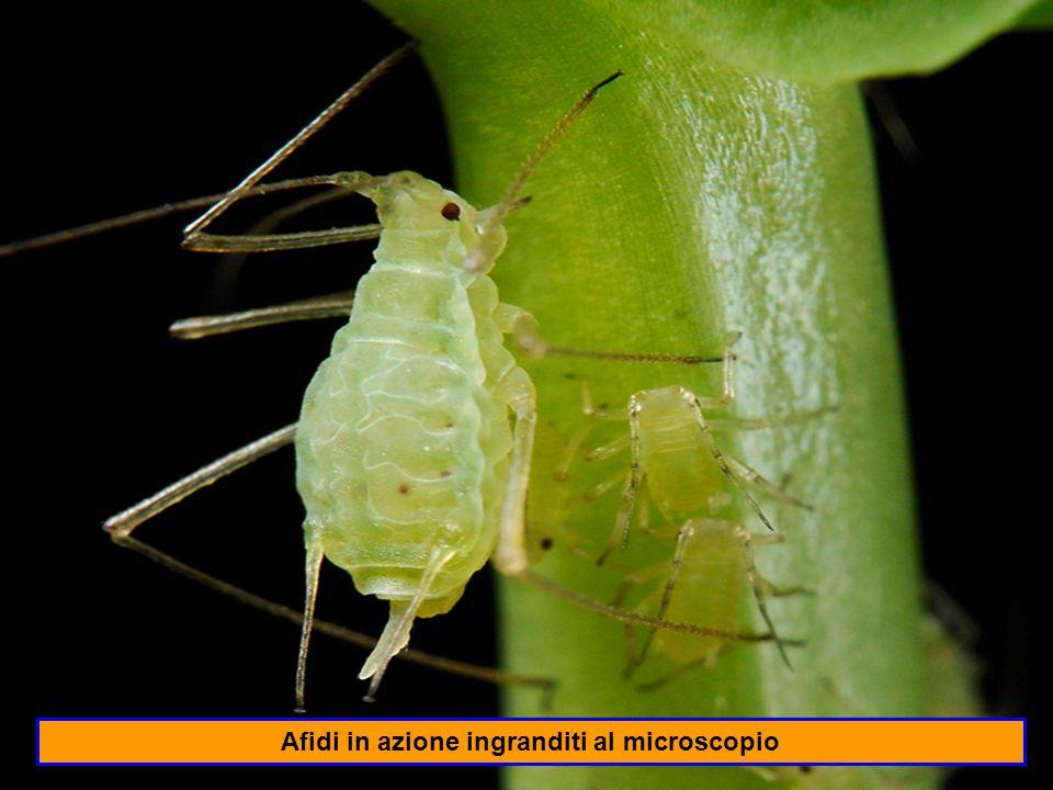 Afidi in azione ingranditi al microscopio