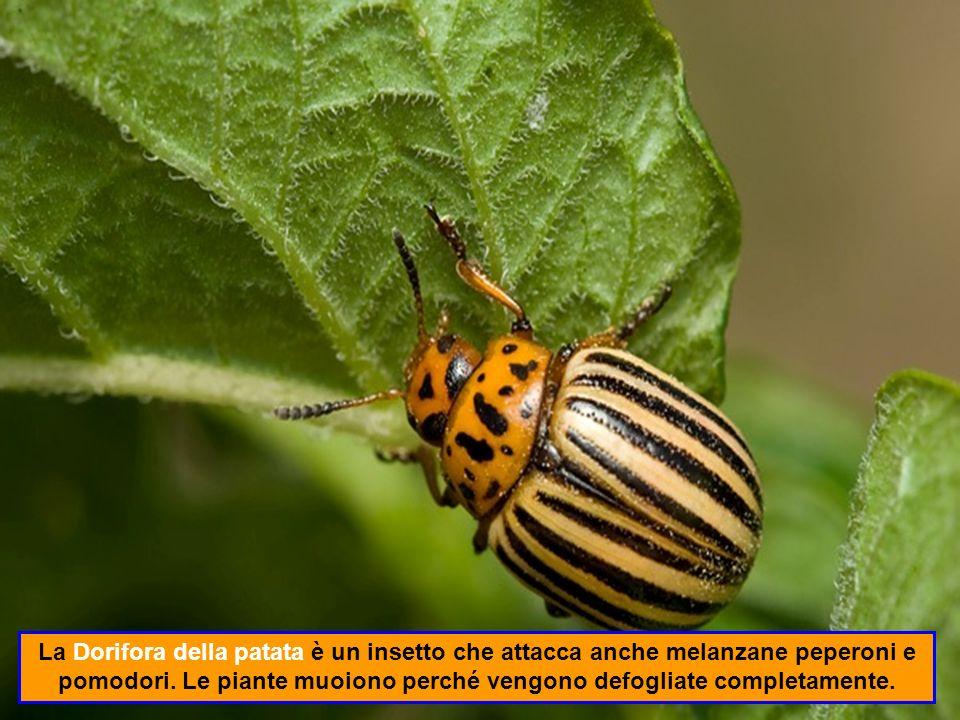La Dorifora della patata è un insetto che attacca anche melanzane peperoni e pomodori.