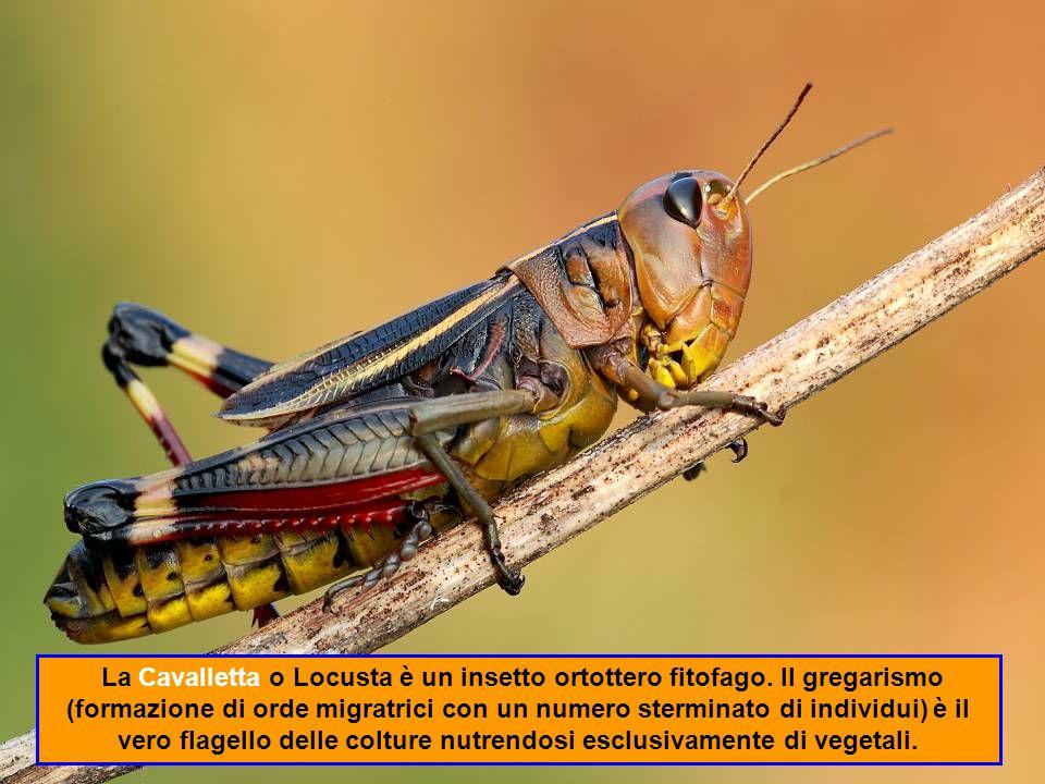 La Cavalletta o Locusta è un insetto ortottero fitofago