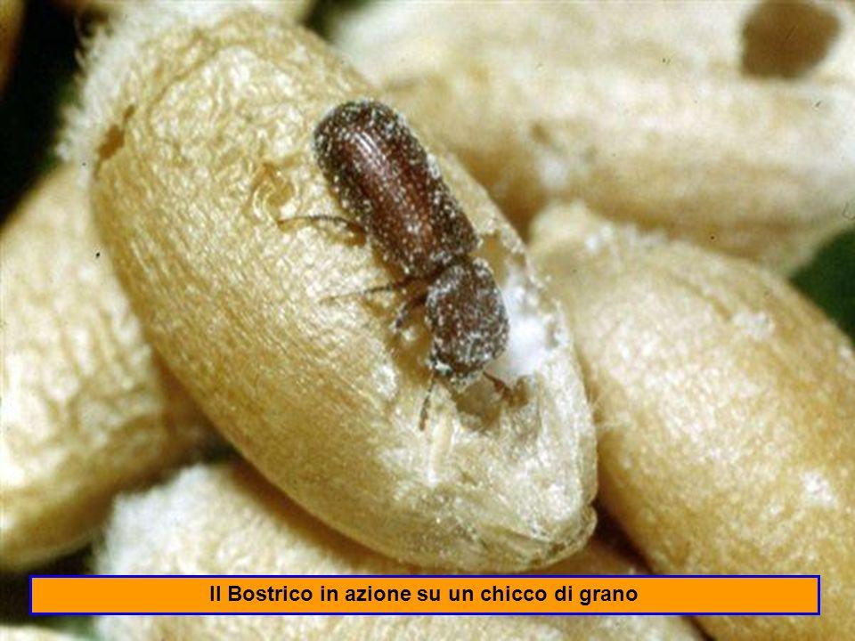 Il Bostrico in azione su un chicco di grano