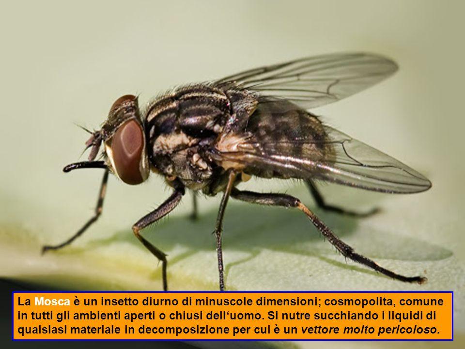 La Mosca è un insetto diurno di minuscole dimensioni; cosmopolita, comune in tutti gli ambienti aperti o chiusi dell'uomo.