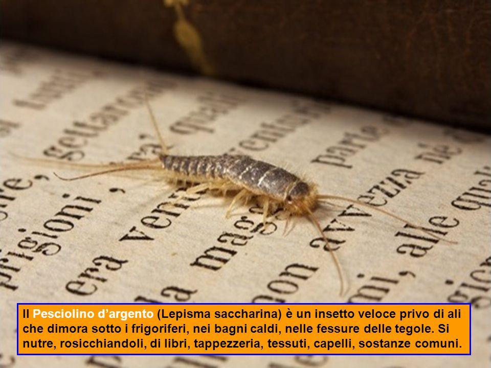 Il Pesciolino d'argento (Lepisma saccharina) è un insetto veloce privo di ali che dimora sotto i frigoriferi, nei bagni caldi, nelle fessure delle tegole.