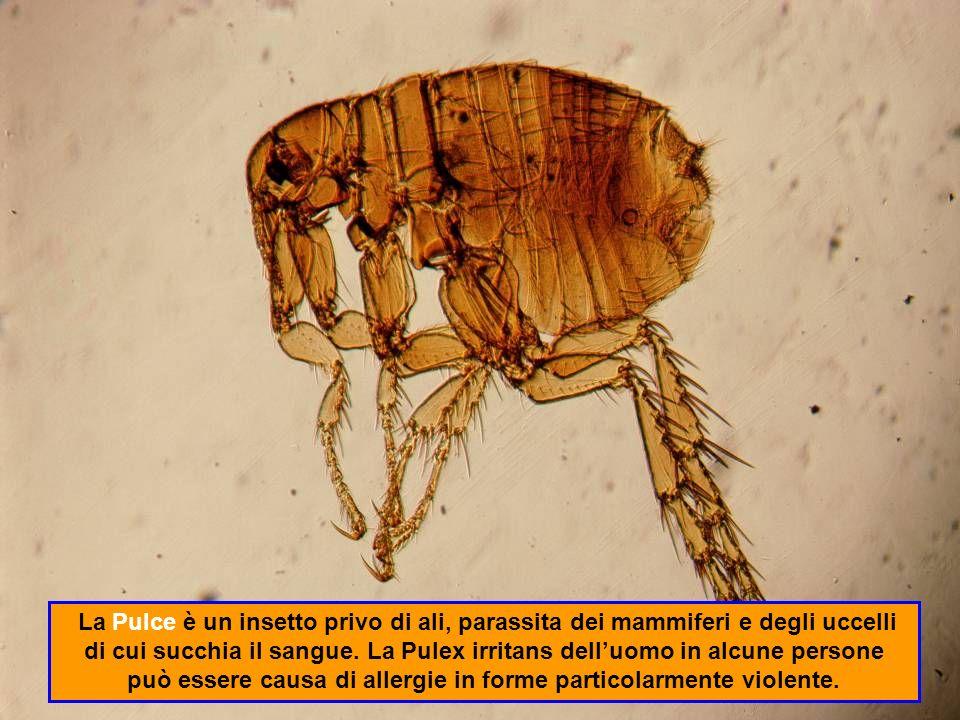 La Pulce è un insetto privo di ali, parassita dei mammiferi e degli uccelli di cui succhia il sangue.
