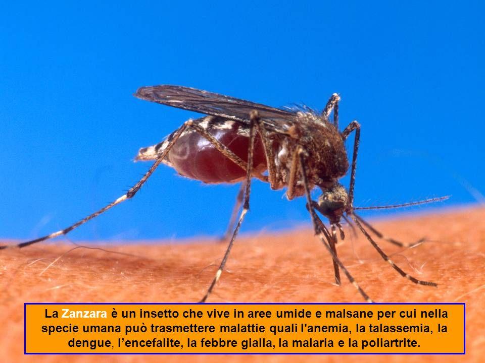 La Zanzara è un insetto che vive in aree umide e malsane per cui nella specie umana può trasmettere malattie quali l anemia, la talassemia, la dengue, l'encefalite, la febbre gialla, la malaria e la poliartrite.