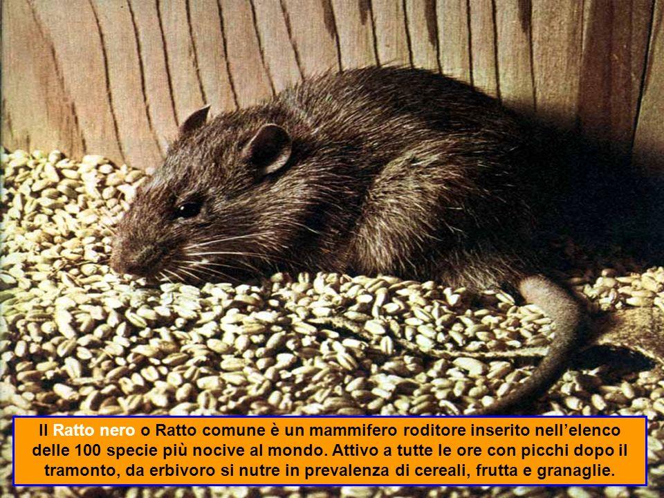 Il Ratto nero o Ratto comune è un mammifero roditore inserito nell'elenco delle 100 specie più nocive al mondo.
