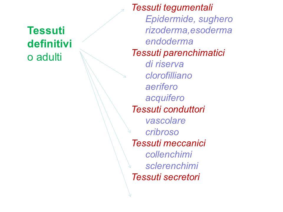 Tessuti definitivi o adulti