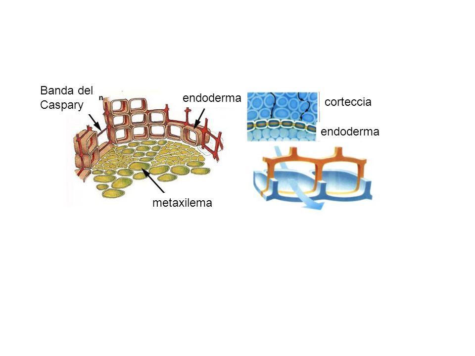 Banda del Caspary endoderma corteccia endoderma metaxilema