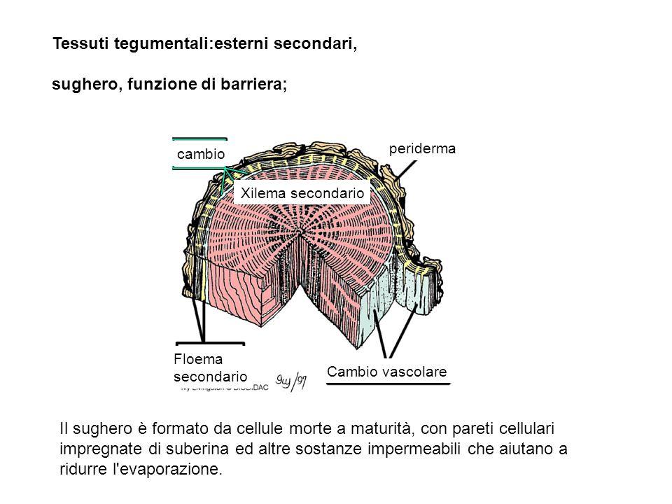 Tessuti tegumentali:esterni secondari, sughero, funzione di barriera;