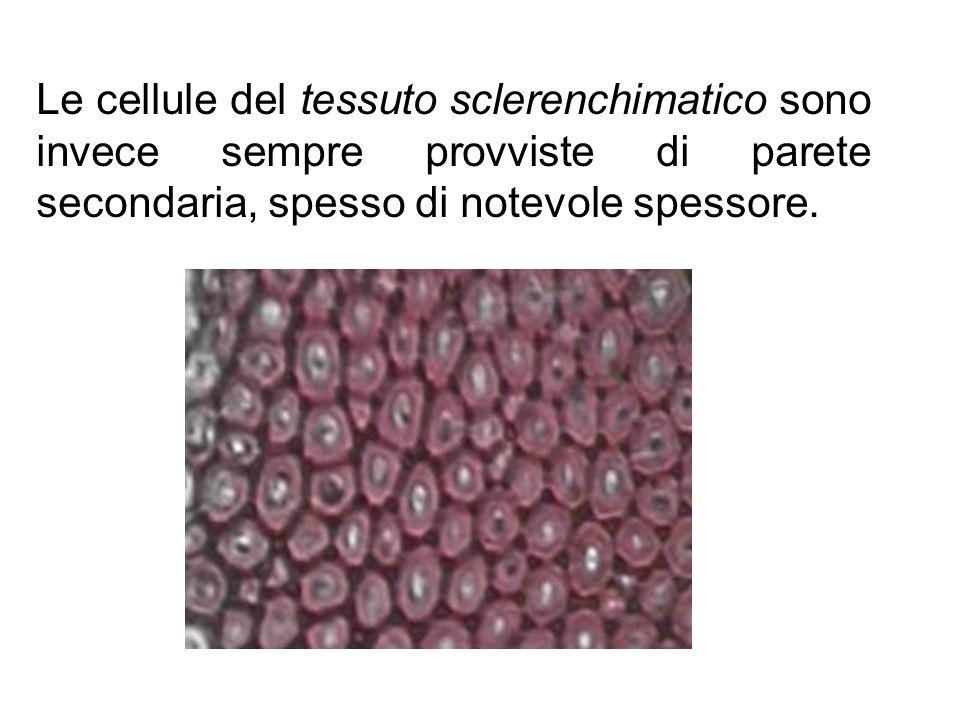 Le cellule del tessuto sclerenchimatico sono invece sempre provviste di parete secondaria, spesso di notevole spessore.
