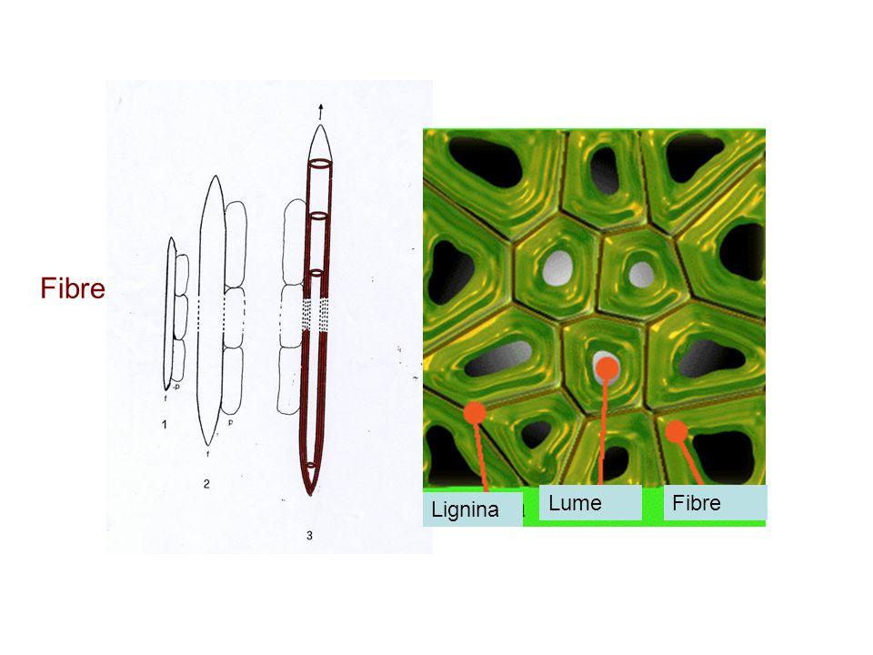 Fibre Lume Fibre Lignina