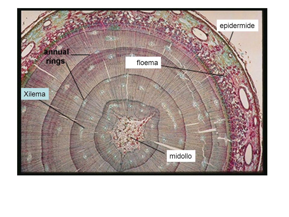 epidermide floema Xilema midollo