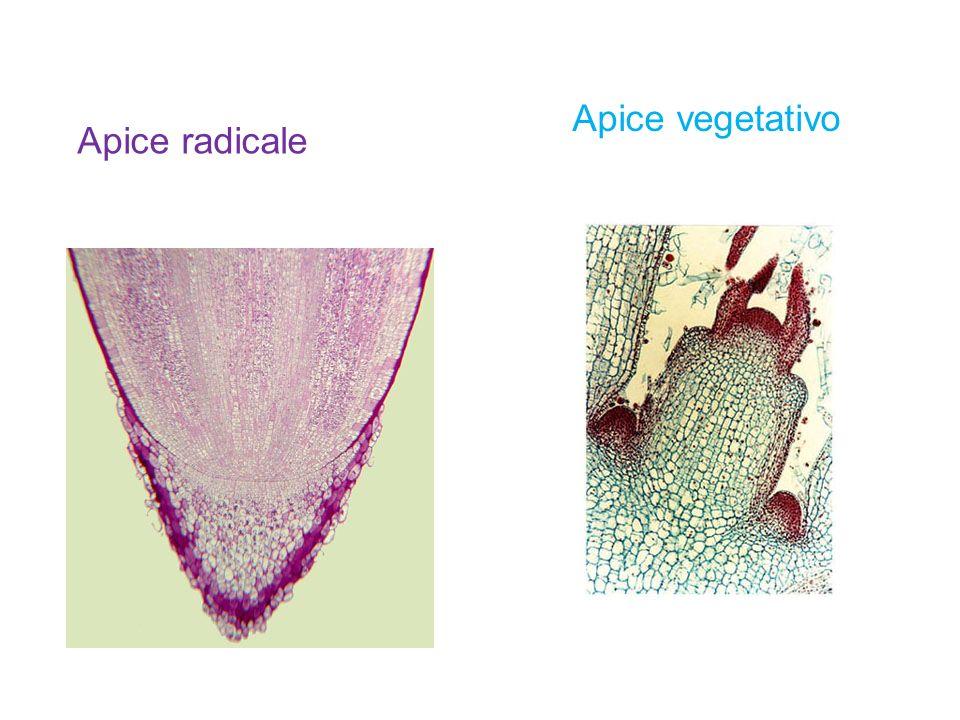 Apice vegetativo Apice radicale