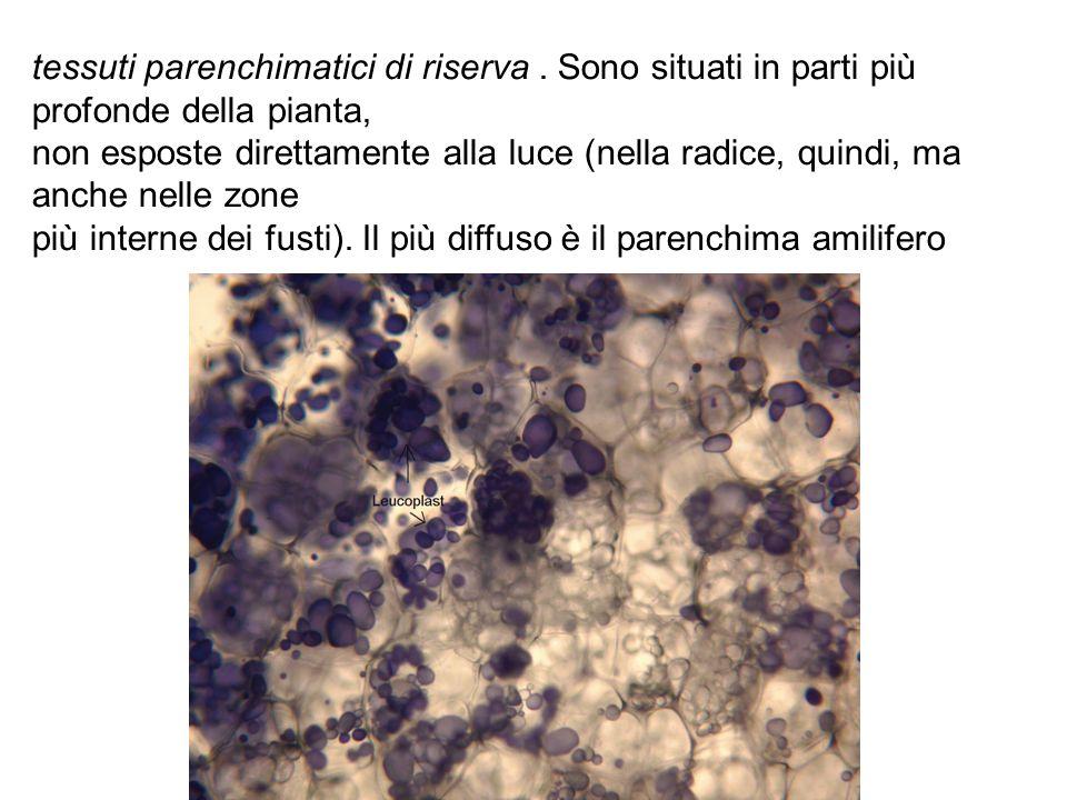 tessuti parenchimatici di riserva