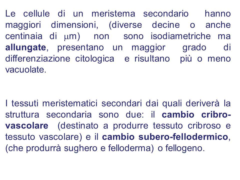 Le cellule di un meristema secondario hanno maggiori dimensioni, (diverse decine o anche centinaia di m) non sono isodiametriche ma allungate, presentano un maggior grado di differenziazione citologica e risultano più o meno vacuolate.