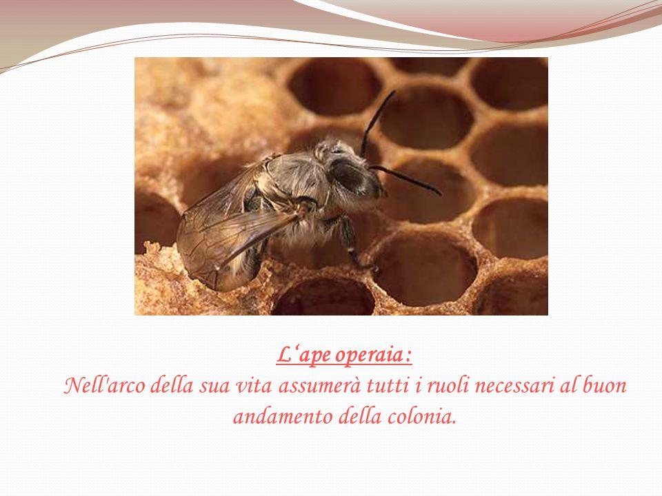 L'ape operaia : Nell arco della sua vita assumerà tutti i ruoli necessari al buon andamento della colonia.