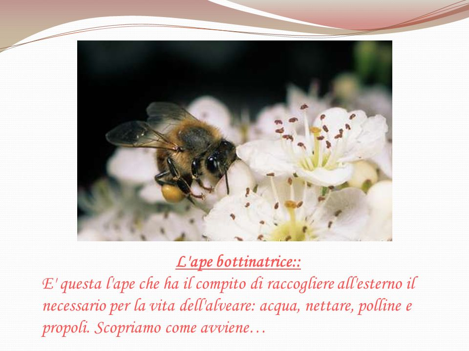 L ape bottinatrice::