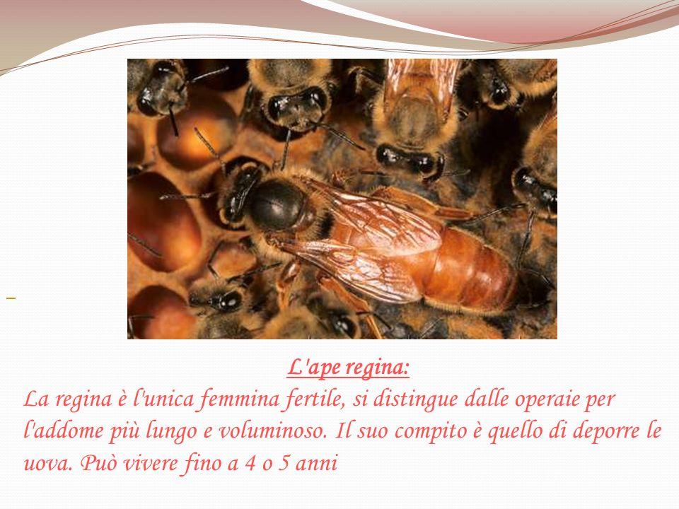 L ape regina: