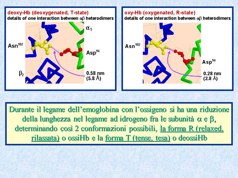 Durante il legame dell'emoglobina con l'ossigeno si ha una riduzione della lunghezza nel legame ad idrogeno fra le subunità a e b, determinando così 2 conformazioni possibili, la forma R (relaxed, rilassata) o ossiHb e la forma T (tense, tesa) o deossiHb