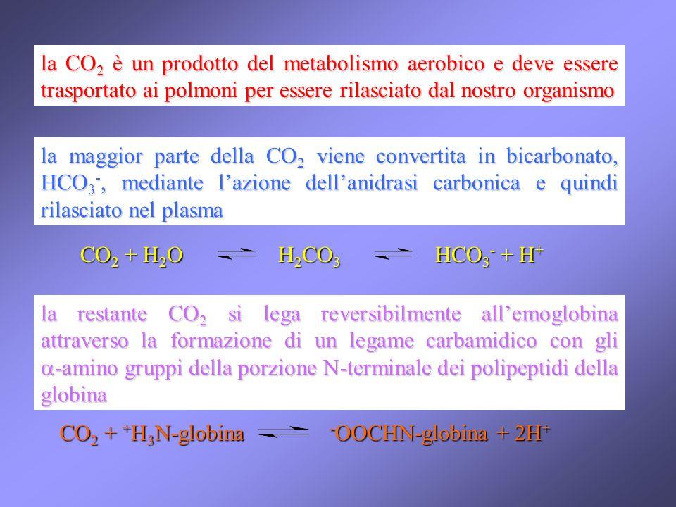 la CO2 è un prodotto del metabolismo aerobico e deve essere trasportato ai polmoni per essere rilasciato dal nostro organismo